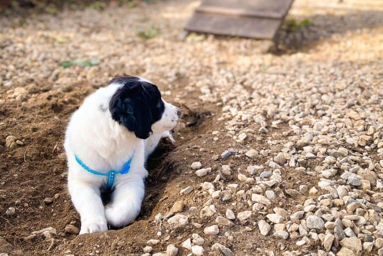 puppy sitting in a hole inside a dog park with mud and slide